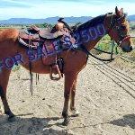 122:VDS Omar Sharif  a Gelding  Horse For Sale