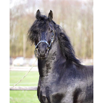 165:Night a Gelding  Horse For Sale