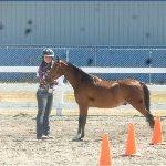 52:Countach a Gelding  Horse For Sale